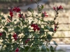 Plisse Window - Inside - In Use - with red flowers close up