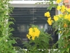 Plisse Window - Outside - White - In Use - with yellow flowers close up